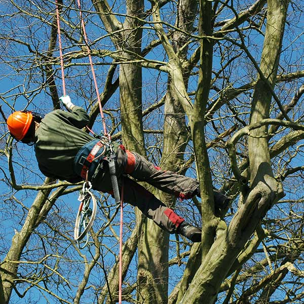 tree lopping hertfordshire - tree surgery specialists Herts, bed & bucks