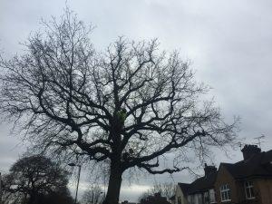 Oak tree winter pruning