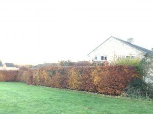 Winter pruning of Beech hedging