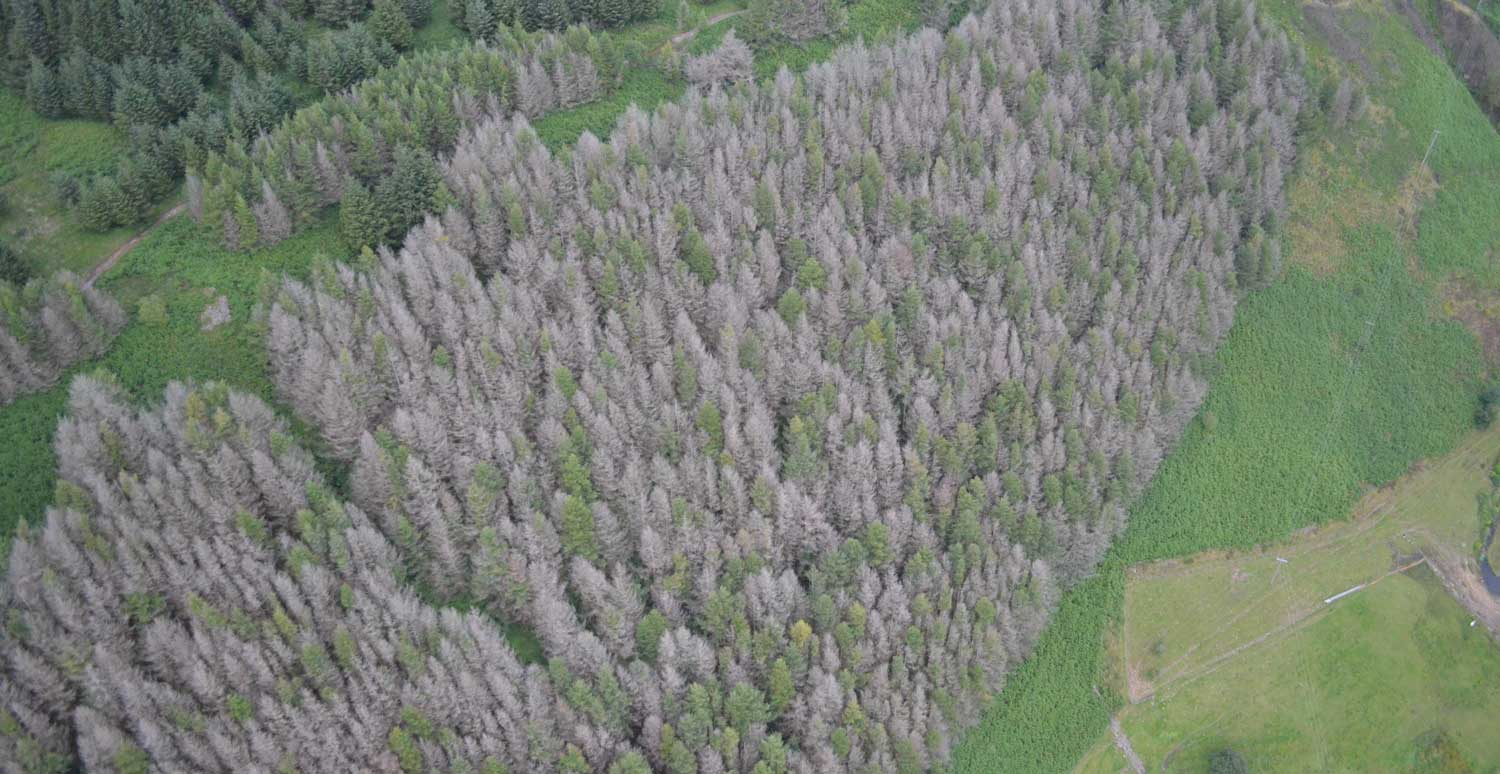 Phytophthora Ramorum Tree disease