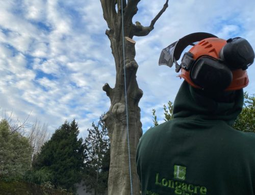 Tree Expertise in Action: Felling a 200 year old Beech Tree in Haringey