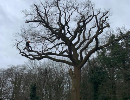 """""""Reducing"""" a tree for a Housing Association in Welwyn"""